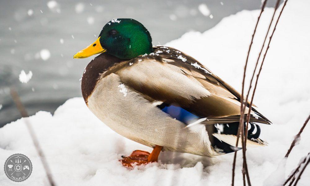 Zima 2018, Falajfl, ujeto v objektiv, sneg, sneženje, bled, raca